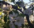 Äppelträdsblomning