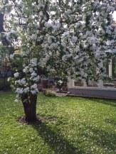 Ljuvliga_äppelträd_22.5
