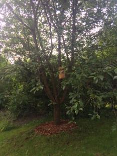 Körsbärsträd_efter