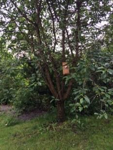 Körsbärsträd_före
