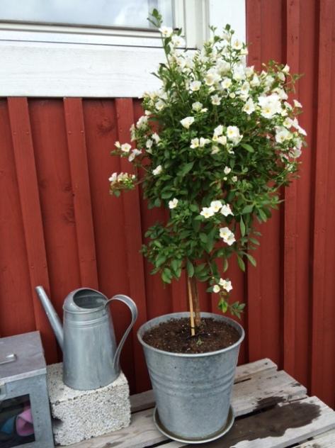 Solanum_laxum_Stjärnsöta