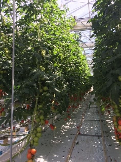 Tomater_växthus