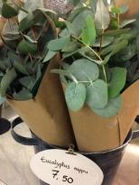 eucalyptus_knippe