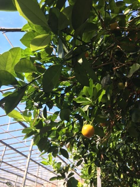 Citrus_aurantium_pomeransträd