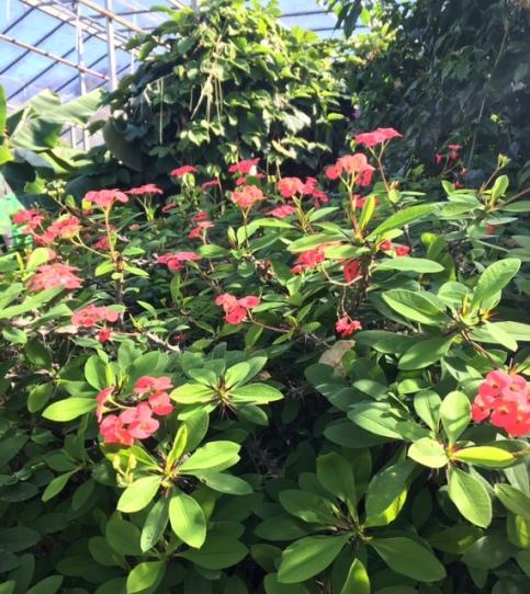 Euphorbia_milii
