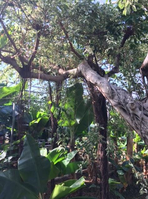 Ficus_benjamina_benjaminfikus