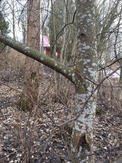 Prunus_padus_hägg_vinterdendr