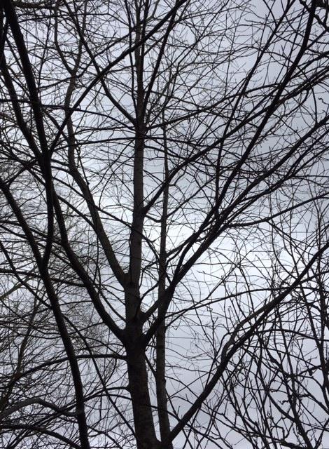 Prunus_padus_vintergrenar