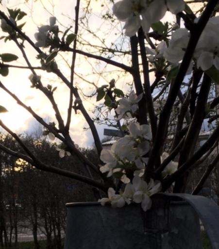 Äppelkvistar_växthus_1