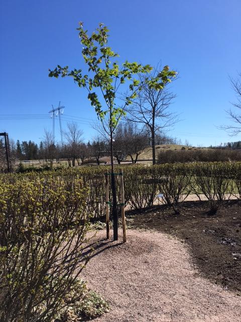 Plantera_träd_Prunussargentii