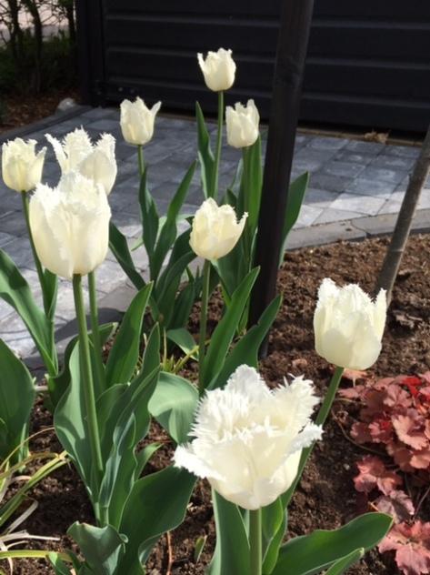 Tulipa_swanwings_white