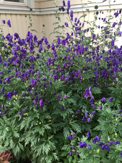 Delphinium_elatum_trädgårdsriddarsporre
