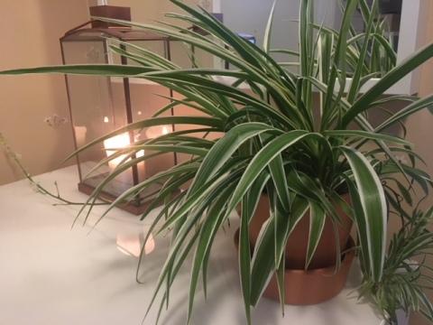 Chlorophytum_colosum_ampellilja.JPG