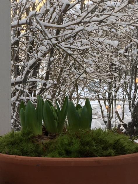 Hyacinter_växthus