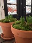 Hyacintkrukor_växthus
