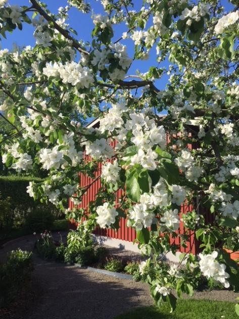 180518_Äppelträd