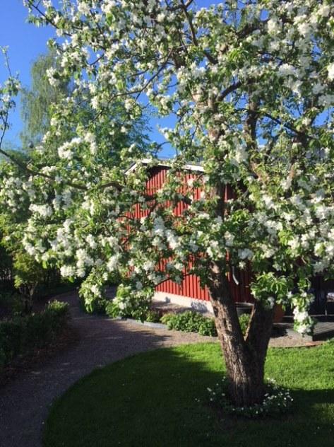 180518_Äppelträd_blom