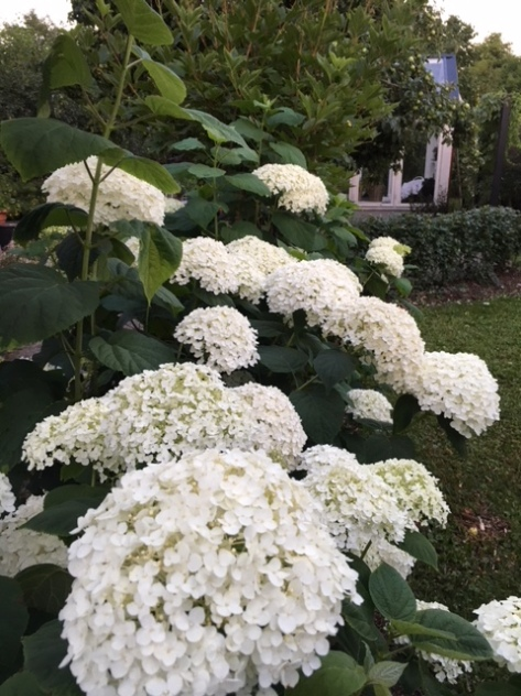 Hydrangea_arborescens_fylldvidjehortensia