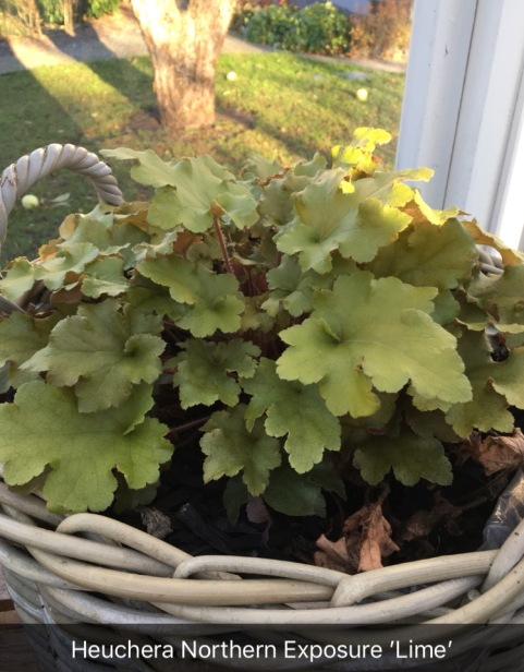 Heuchera_Northern_Exposure
